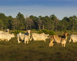 Brahmans at Babcock Ranch