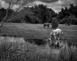 Horses feed in flooded pasture